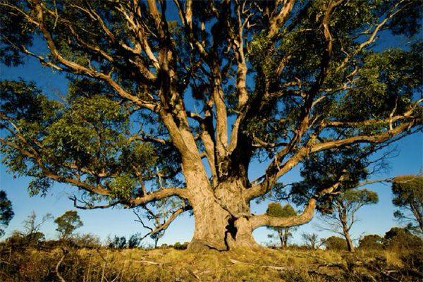 cây khuynh diệp