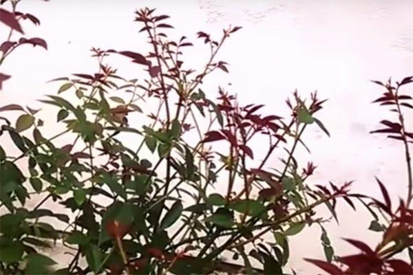 vườn hồng sa đéc 1