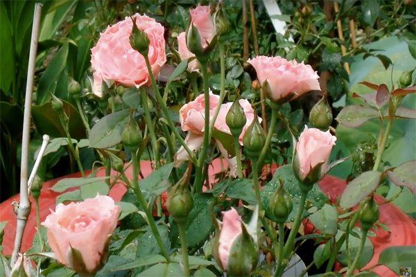 vườn hồng sa đéc