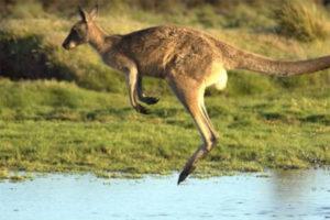 Đi Săn Bắn Kangaroo Ngoài Thiên Nhiên Hoang Dã Úc