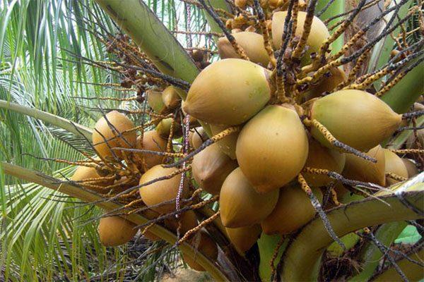 dừa cam ranh