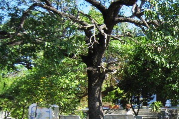 cây xoài chùa từ quang