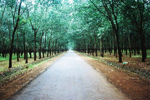 rừng cao su