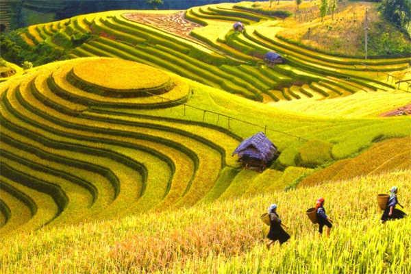 cánh đồng mường thanh