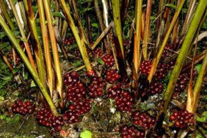 Thảo Quả Hoàng Liên Sơn – Những Điều Thú Vị Về Lợi Ích Thảo Quả