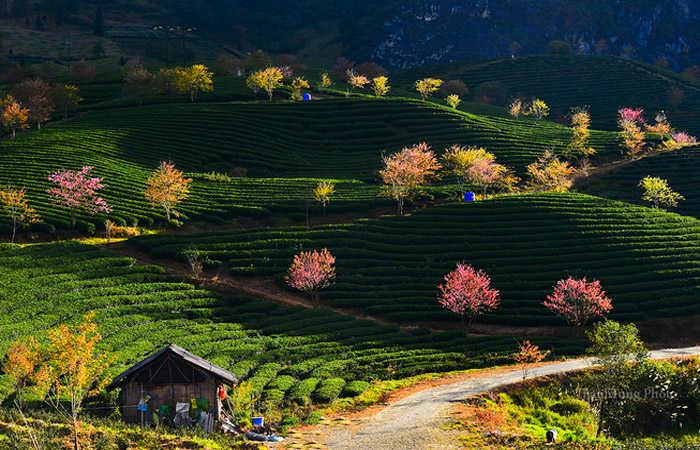 hoa đào trên đồi chè sapa