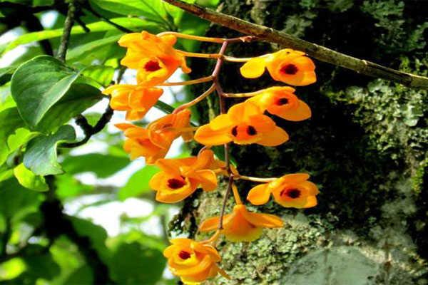 hoàng thảo vàng cam
