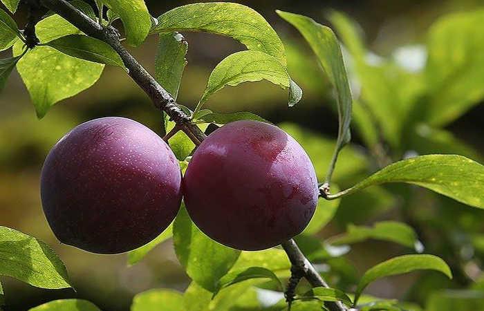 trái cây phố ràng
